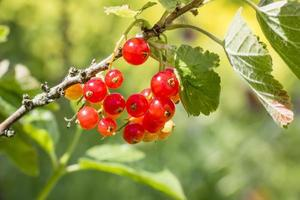 Currants on the green bush with leaves photo