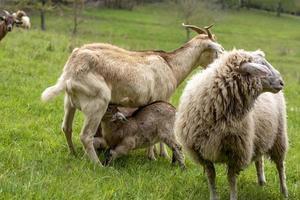 Dos jóvenes cabras domésticas lactantes en un prado con ovejas foto