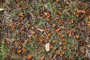 Forest floor with beechnuts foliage and fir needles as background photo