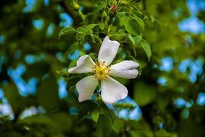 White dog rose photo