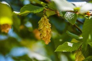 Carpe en verano con hojas verdes. foto