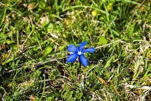 genciana en flor foto