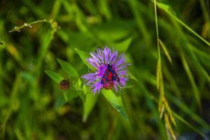 serratula tinctoria en verano con mariposa foto