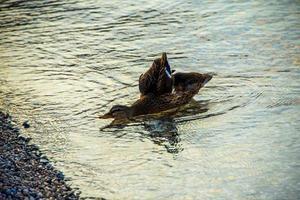 patito en el lago foto