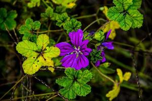 Cerca de setigera malva púrpura entre hojas verdes foto