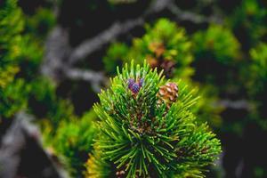 Wild mountain pine cone photo