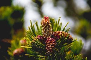 Mountain pine closeup photo