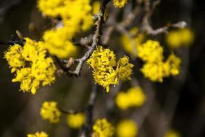 Close up of a yellow dogwood photo