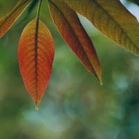green and red tree leaves in springtime photo