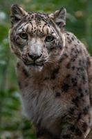 Snow leopard in zoo photo