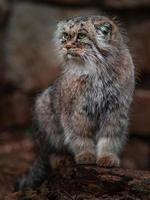 Portrait of Pallas s cat photo