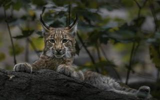 Eurasian lynx on stone photo