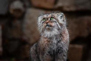 Portrait of Pallass cat photo