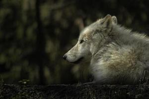 lobo ártico en el zoológico foto
