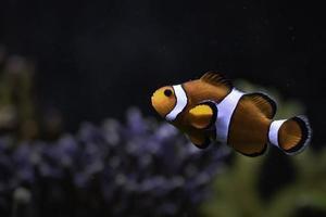 Ocellaris clownfish in aquarium photo
