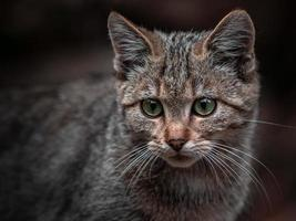 Portrait of European wildcat photo