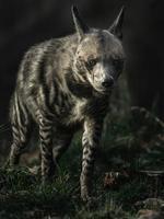 Striped hyena in zoo photo