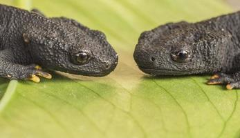 Two amphibian in a plant photo