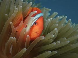 Orange clown fish in an anemone photo