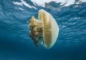 Big sea jellyfish in the blue sea photo