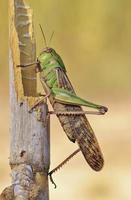 Green insect grasshopper photo
