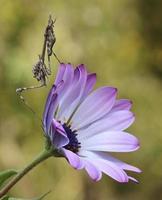 Mantis on a purple daisy flower photo
