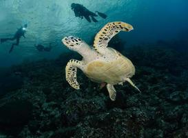 Sea turtle with divers in the ocean photo