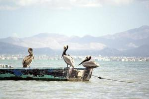 Pelicans in a boat on a beach in Mexico photo