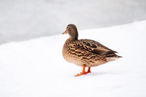 pato salvaje marrón en invierno foto