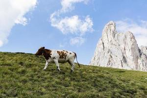 vaca en los dolomitas foto