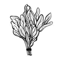 Sage leaves isolated on a white background. Sage is a fragrant spice with a pronounced taste. Spicy fragrant spice. hand drawn Vector illustration