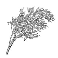 A sprig of dill isolated on a white background. Herbes de Provence.Fennel. Flavorful seasonings and spices. Hand drawn vector illustration.