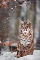 Portrait of Lynx rufus photo