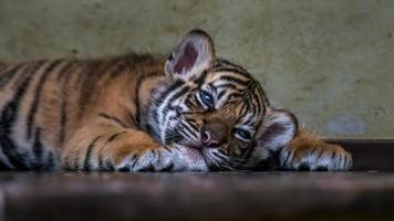 Little Sumatran tiger photo