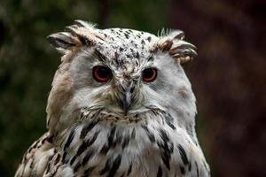 Eurasian Eagle Owl photo