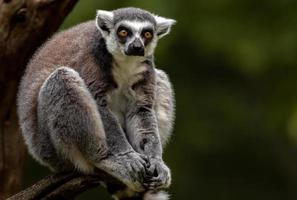 Ring tailed lemur photo