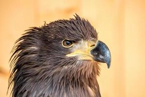 White tailed eagle photo