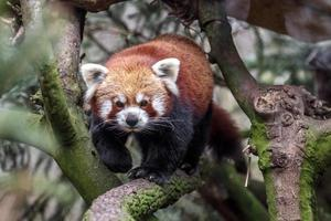 Portrait of Red panda photo