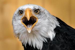 Portrait of Bald eagle photo
