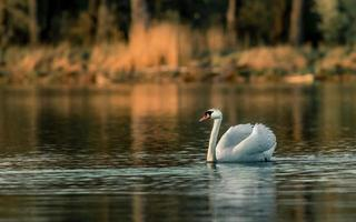 Swan on pond photo