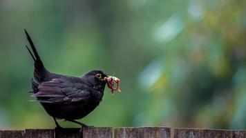 Common blackbird with worm photo