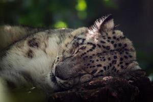 Sleeping Snow leopard photo
