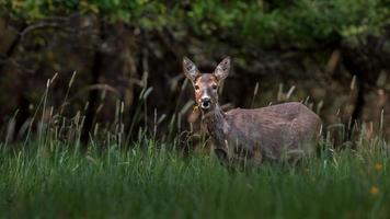 Roe deer in wild photo