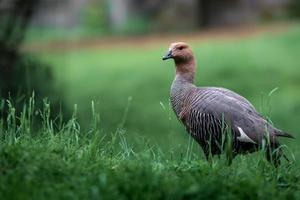 Ruddy headed goose photo