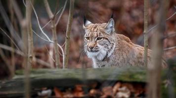 Portrait of Carpathian Lynx photo