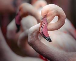 Portrait of Greater flamingo photo