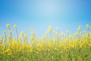 Flores en un campo de cultivo con cielo azul de fondo foto