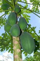 Group of raw papayas photo