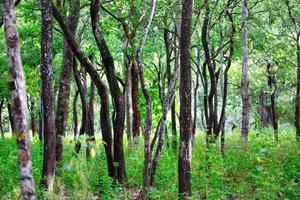Sandalwood forest reserve in Marayoor Kerala India photo
