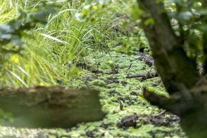 Paisaje de bosque de pantano alemán con hierba de helecho y árboles de hoja caduca en verano como fondo foto